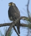 Aplomado falcon, Lamanai Resort, Belize