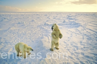 Polar bear (Ursus maritimus), near Churchill, Manitoba, Canada. Famous as one of the best places to view polar bears.