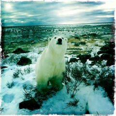 Polar bear, Seal River