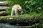 Kermode or Spirit Bear