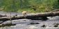 Kermode or Spirit Bear in Great Bear Rainforest