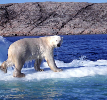 Spitsbergen polar bear on ice