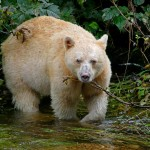 A Life Changing Holiday in Canada:  Quest for the Spirit Bear