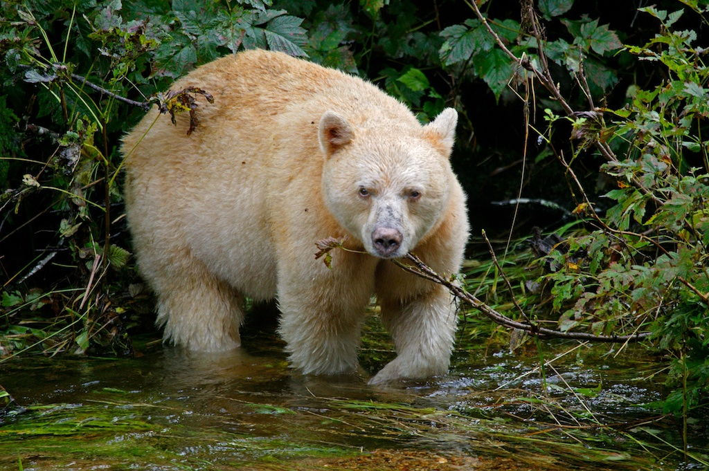 Spirit Bear or Kermode bear