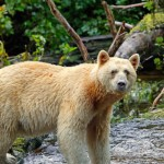 Spirit Bear Habitat Threatened by Pipeline