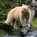 Spirit Bear trip report