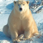 IUCN Study Predicts Dramatic Decline in Polar Bear Populations – Polar Bears International