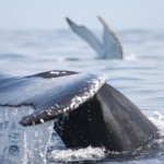 Whales in Antarctica Still Hunted