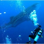 Dive with Whale Sharks in Belize