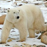 My Polar Bear Trip to Churchill Manitoba, Polar Bear Capital of the World (a story by IWA Traveler Joy Ehle)