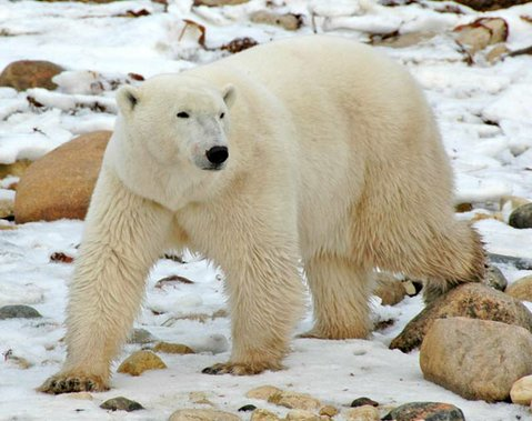 Polar Bear at Churchill
