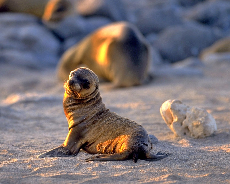 baby Galapagos sea lion