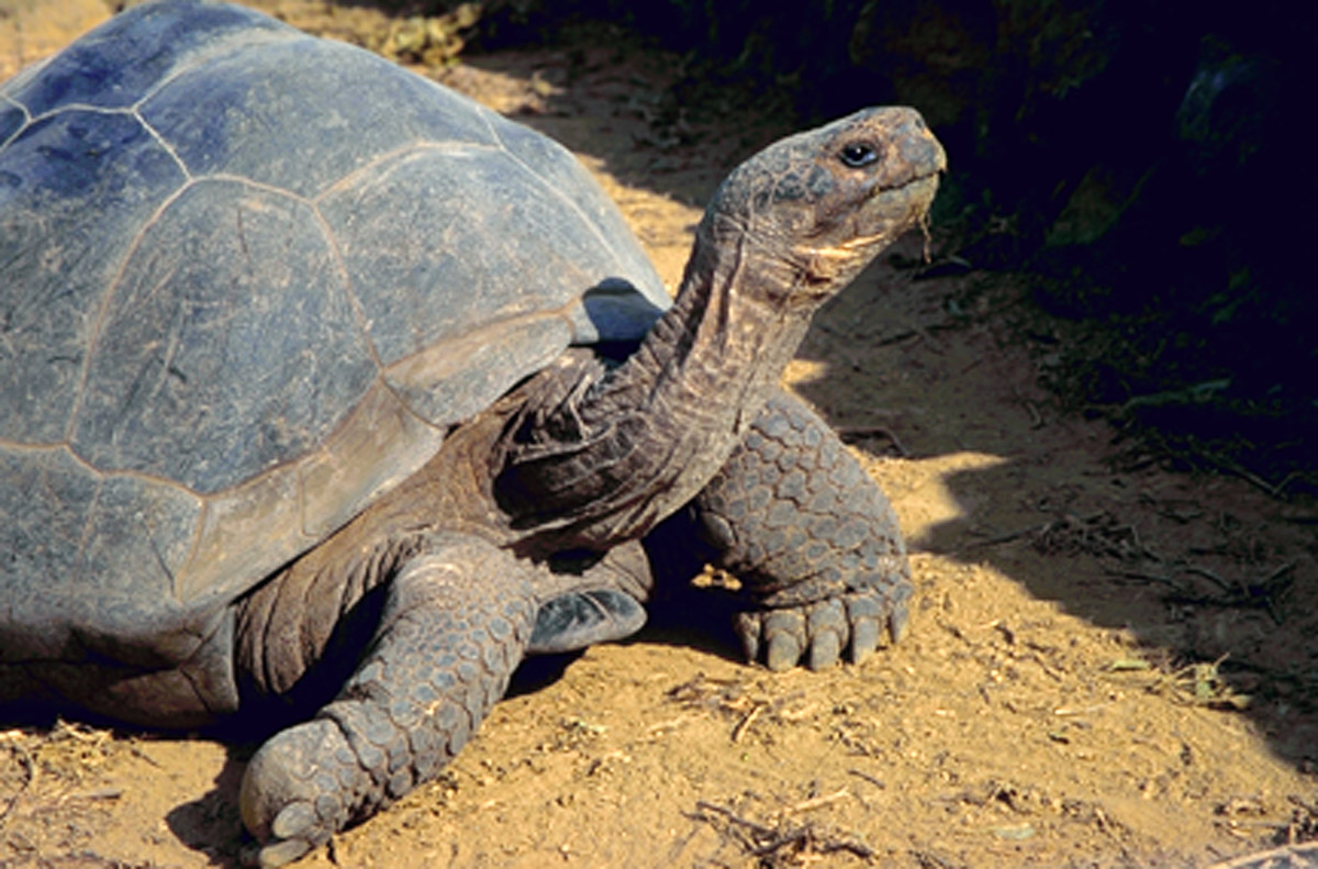 Galapagos tortoise Lonesome George
