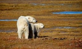 Polar bear mother and cub at Nanuk Lodge 2013