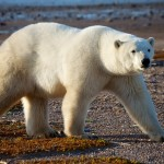 Walking with the Polar Bears at Nanuk Lodge