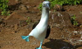 Blue footed booby mating dance in Galapagos
