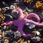 Starfish Wasting Disease Comes Home