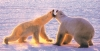 The Mother of All Polar Bear Tours - Cape Churchill