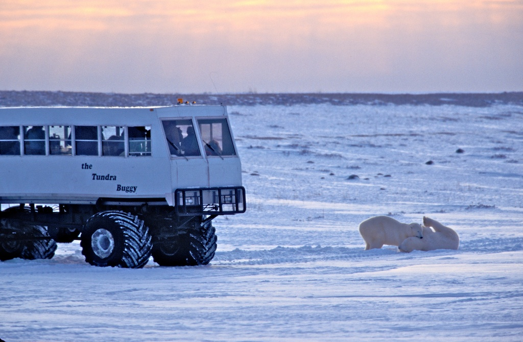 Churchill polar bear tours 3