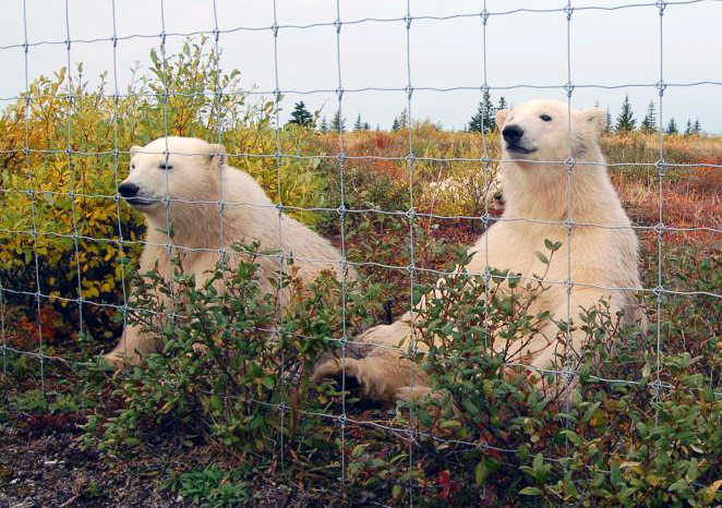 polar-bears-watching-people-Nanuk-Lodge