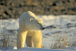 Polar Bear Tours | Polar Bears of Churchill | Nature Tours | Manitoba