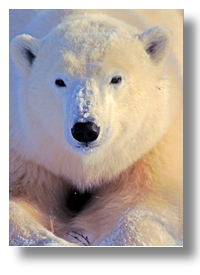 Polar Bear Tours | Polar Bears of Churchill