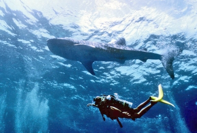 Whale shark diving at Isla Marisol