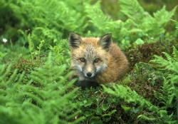Red Fox, Newfoundland