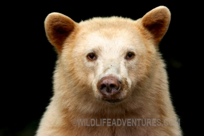 See the Spirit Bear on our lodge-based tour!
