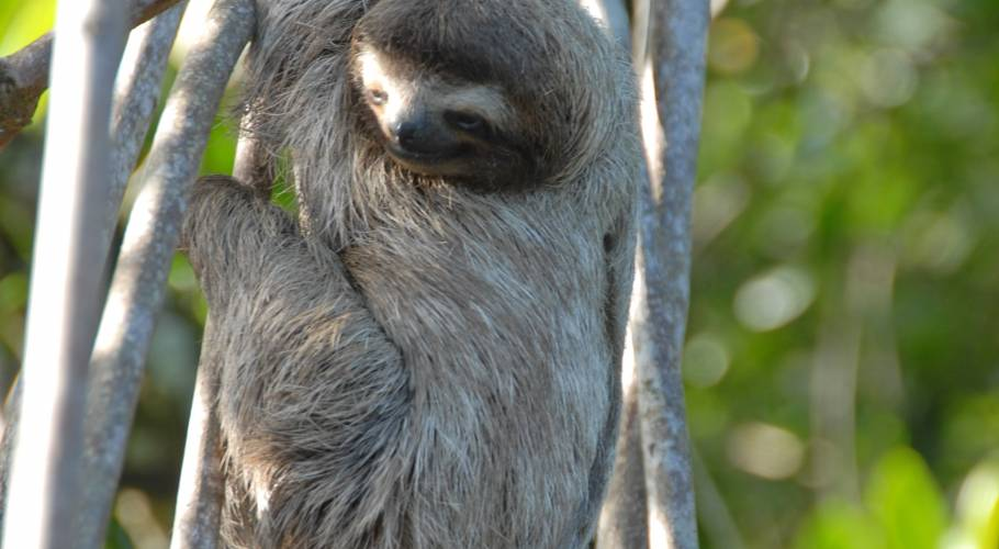 Three Toed Sloth-ShirleyMetz