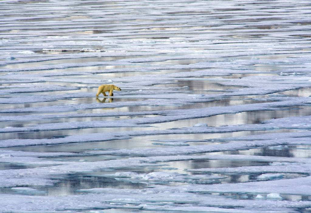 Polar bear on melting sea ice, Spitsbergen