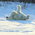 Greatest Polar Bear Pictures Contest Winners