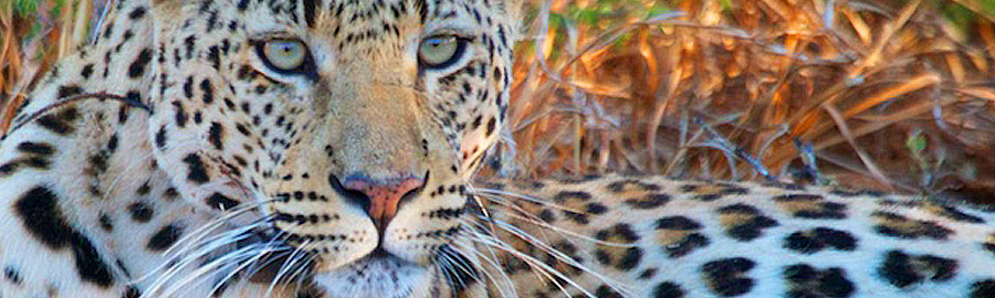 Nambibia leopard banner 900px
