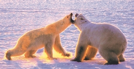 Female (L) defending cub from large male, Cape Churchill
