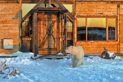 Polar Bear at Seal River Lodge