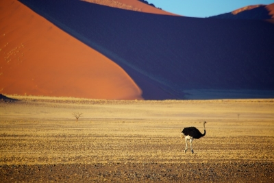Ostrich and dunes