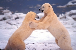 Sparring bears