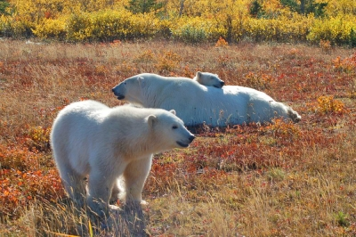 Polar Bears at Nanuk Lodge