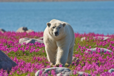 Polar bear in fireweed, Seal River