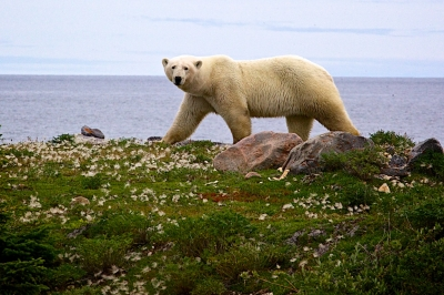 Mature bear along Hudson Bay shore
