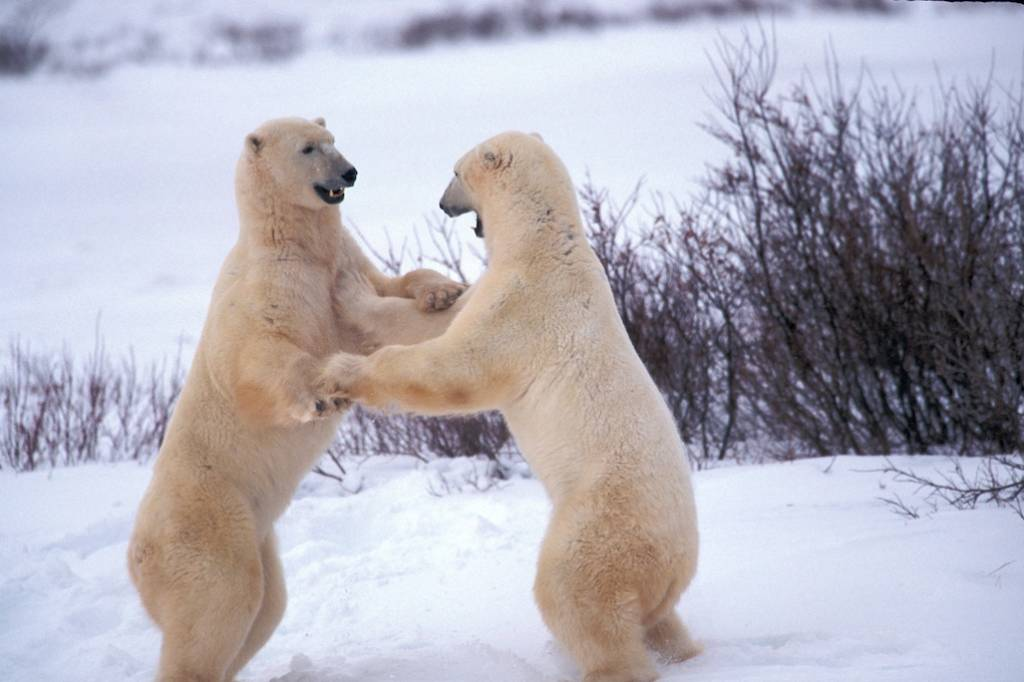 Churchill polar bear tours 6