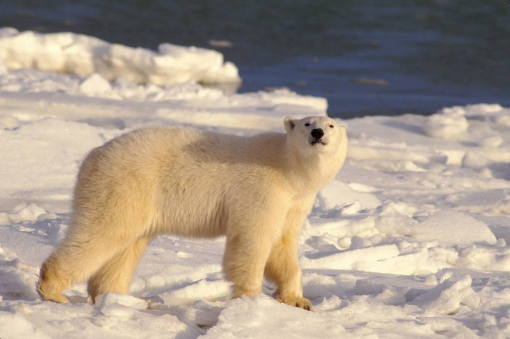 Churchill polar bear tours 9