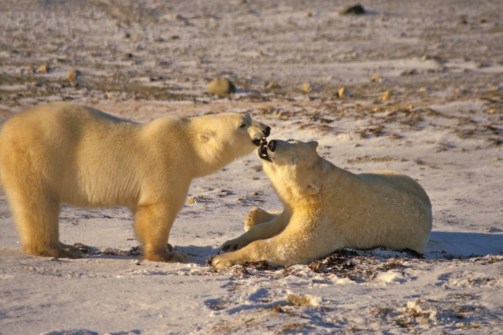 Churchill polar bear tours 10
