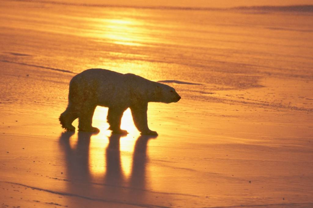 Churchill polar bear tours 5