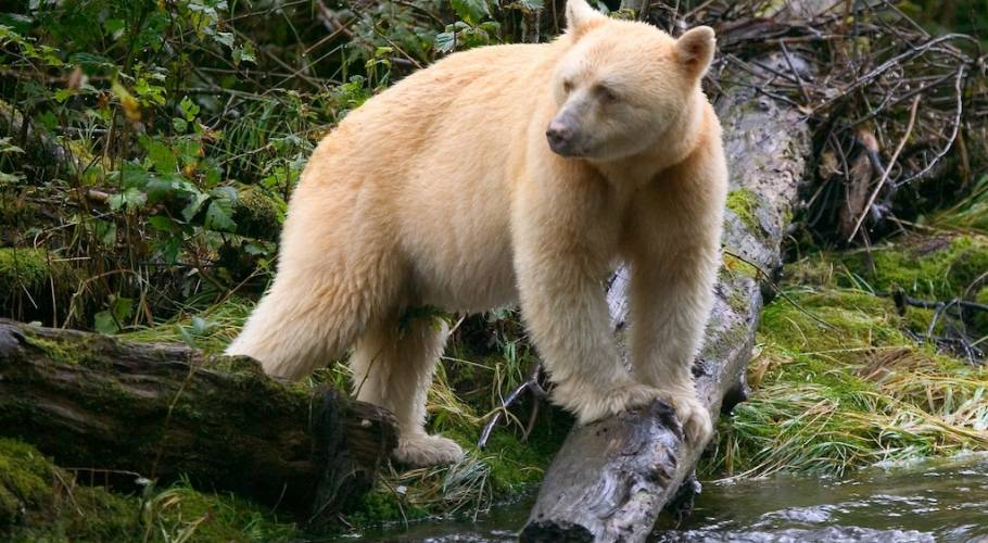 Spirit Bear Lodge Of The Great Bear Rainforest