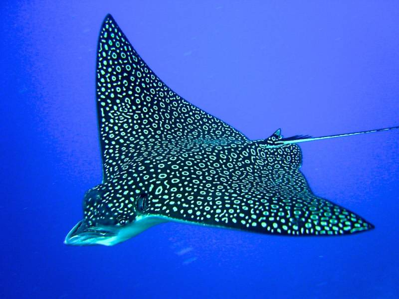Turneffe ResortTIR Spotted Eagle Ray