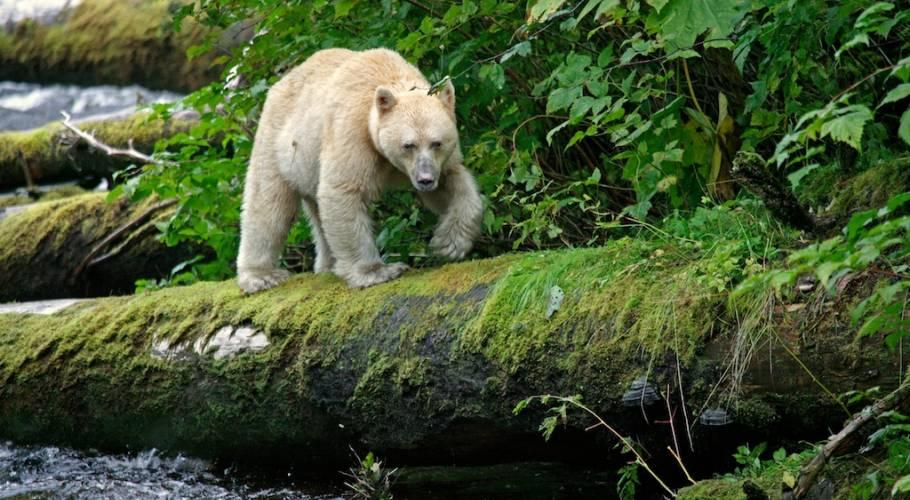 Spirit Bear Lodge Of The Great Bear Rainforest